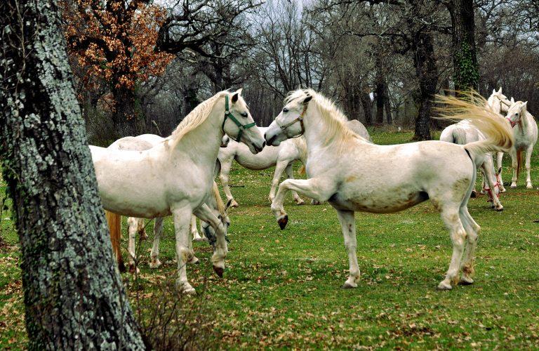 Horses in Lipica - Slovenia